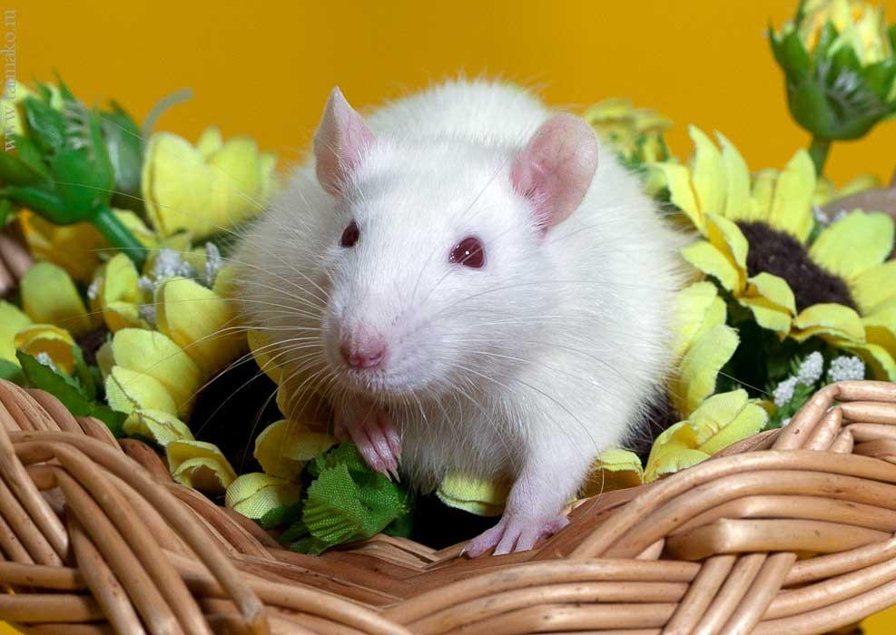 Белая ручная крыса