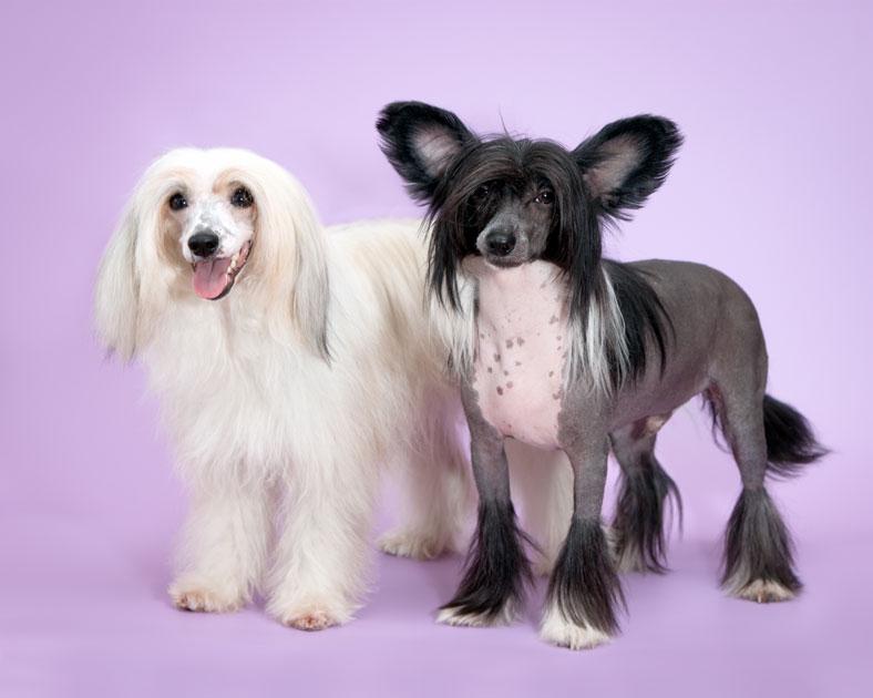 Собаки китайские хохлатые
