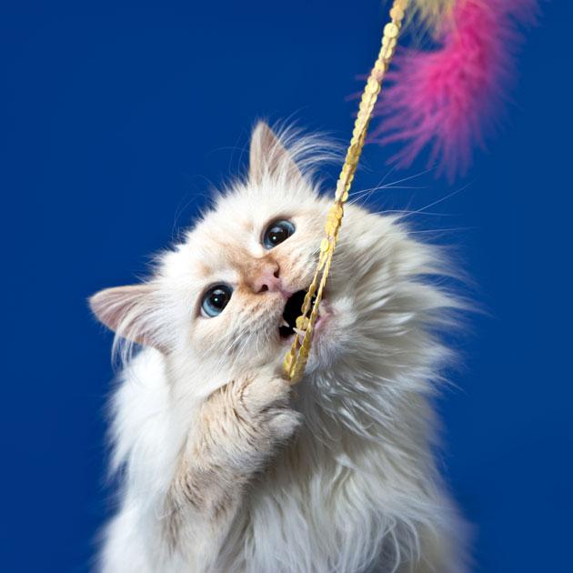 Играющий белый кот