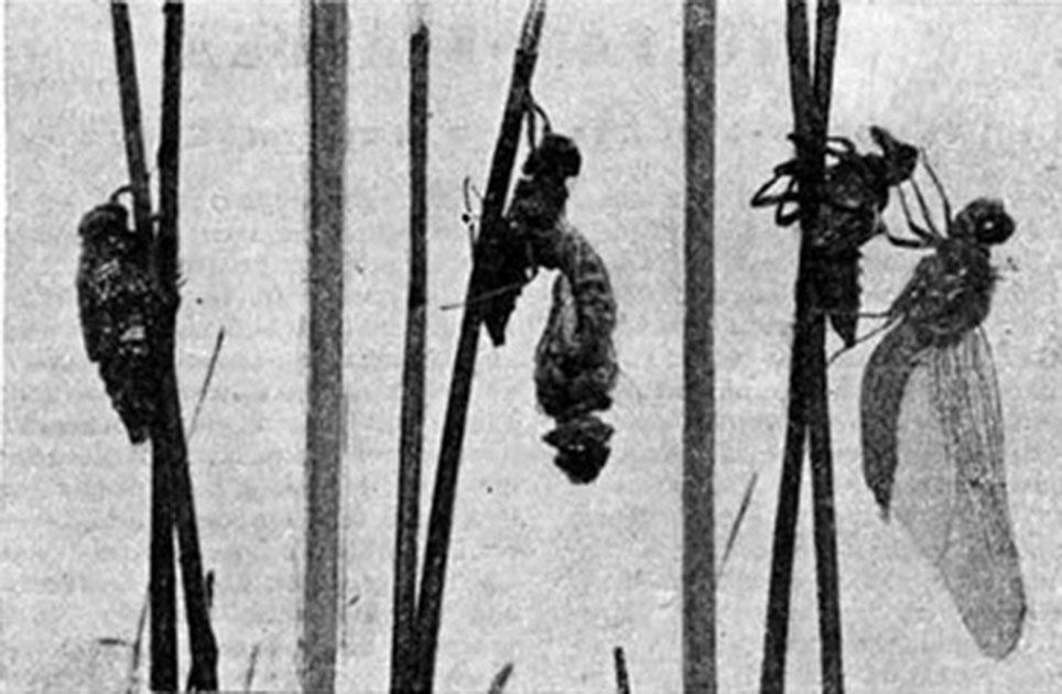Появление стрекозы из личинки