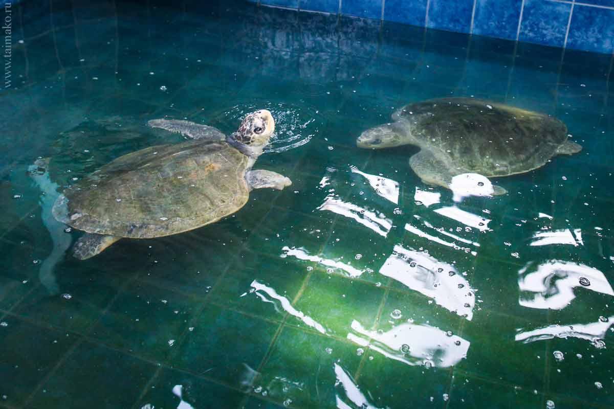 Turtle-Phuket-2