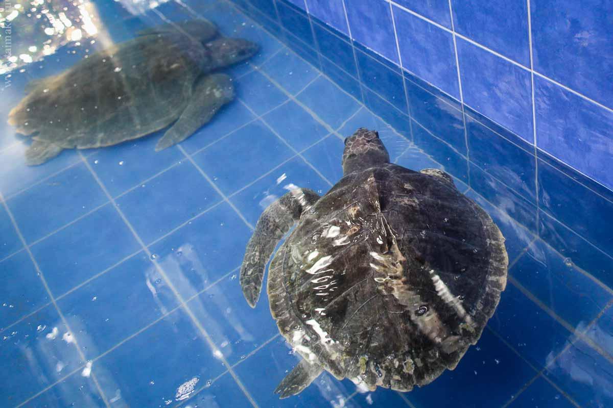Turtle-Phuket-3