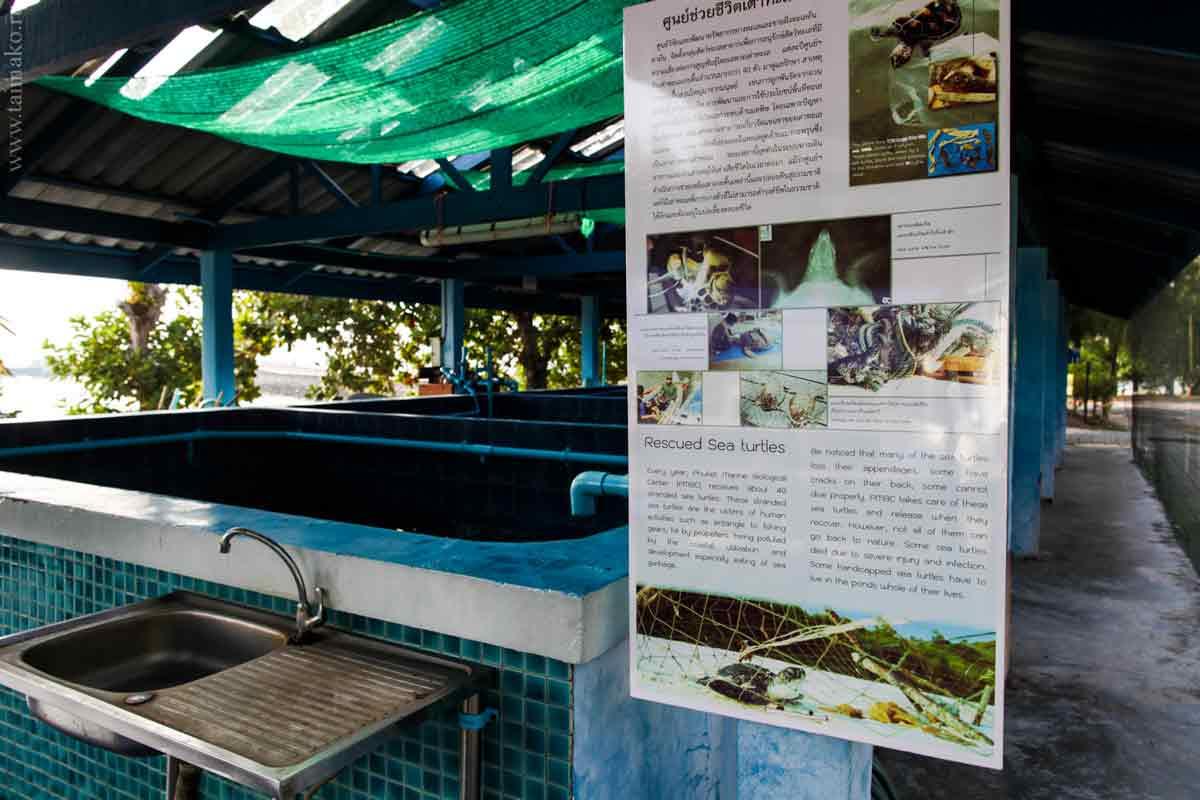Turtle-Phuket-8